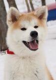 Akita van de hond (Hatiko) Royalty-vrije Stock Fotografie