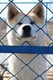 Akita want freedom Royalty Free Stock Images