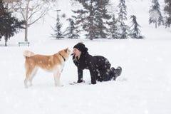 Akitahond die haar eigenaar op sneeuwdag in het park kussen De winter bedriegt royalty-vrije stock foto's