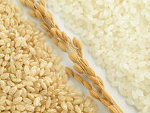 Akitakomachi. One of the most popular japonica rice Stock Photography