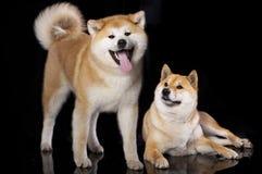 Akitas et Shiba Inu photo libre de droits