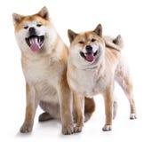 Akitas and Shiba Inu Stock Images