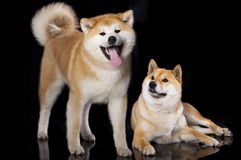 Akitas and Shiba Inu. Traditional native Japanese breeds of dogs Royalty Free Stock Photo