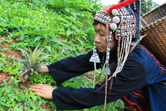 Akka hill tribe in costume dress working plant pineapple tree Royalty Free Stock Images