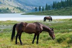 Akkem jezioro, Belukha, koni pasać Obraz Stock