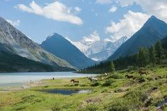 Akkem Lake, Belukha, galloping horse. Trekking in the Altai Mountains Royalty Free Stock Image