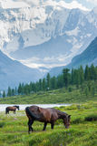 Akkem Lake, Belukha, horses grazing. Trekking in the Altai Mountains Royalty Free Stock Image