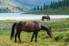 Akkem Lake, Belukha, horses grazing. Trekking in the Altai Mountains Stock Image