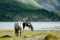Akkem lake, horses grazing. Trekking in the Altai Mountains Stock Images