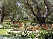 Akko Bahai arbeta i trädgården agave och olivträd 2004 Royaltyfri Foto