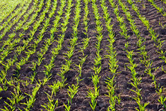 akra kwiatów zielony ranek Obraz Royalty Free