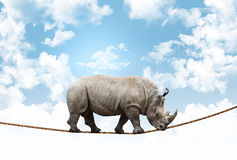 Akrobata nosorożec Zdjęcia Royalty Free