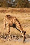 Akrobatische Giraffe Stockbild
