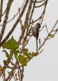 Akrobatisk Lång-tailed mes Arkivfoto