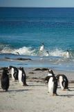 Akrobatyczni Gentoo pingwiny Zdjęcie Stock