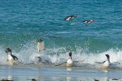 Akrobatyczni Gentoo pingwiny Zdjęcia Stock