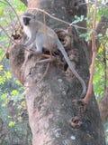 Aksamit małpa fotografia stock