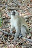 Aksamitna małpa Wpatruje się Oddolnego Tom Wurl fotografia stock