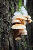 Aksamitna stopa (Flammulina velutipes) Zdjęcia Royalty Free