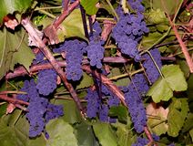 Aksamitne wiązki winogrona zdjęcie stock
