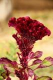 Aksamitny czerwony kwiat w jesieni z ziarnami Obrazy Stock