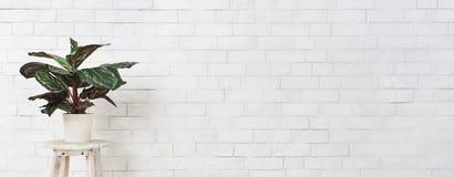 Aksamitowa houseplant na krześle nad białą ścianą z cegieł zdjęcie stock