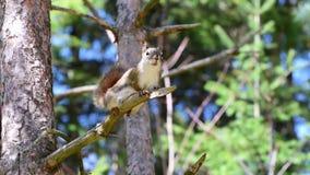 Aktiv ekorre på trädfilial stock video