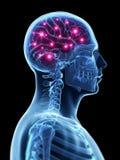 Aktiv hjärna Arkivfoton