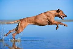 Aktiv idrotts- hundvalpspring på havet Royaltyfria Foton