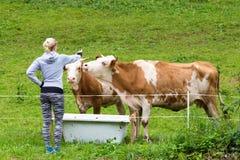 Aktiv sportig kvinnlig fotvandrare observera och smeka beta kor på äng Arkivbild