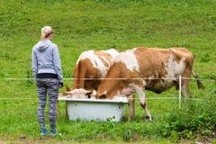 Aktiv sportig kvinnlig fotvandrare observera och smeka beta kor på äng Arkivbilder