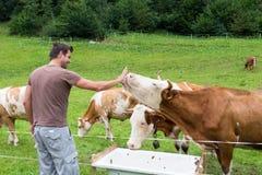 Aktiv sportig manlig fotvandrare observera och smeka beta kor på äng Royaltyfri Foto
