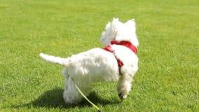 Aktiva små hundar Väst-hiland vit fasa som står på gröngräs utomhus och skäller Videofilm stock video