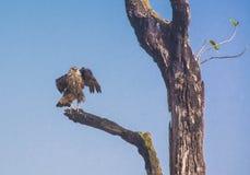Aktiver Geier auf Baum Stockfotografie