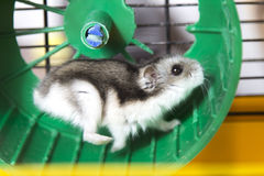 Aktiver Hamster, der auf einem Rad läuft Lizenzfreie Stockbilder