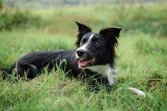 Aktiver Schwarzweiss-Hund, der im grünen Gras mit der Zunge heraus hängt während des heißen Sommertages liegt Lizenzfreie Stockfotos