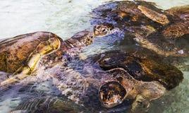 Aktuellt djurliv: Gulliga havssköldpaddor royaltyfria bilder