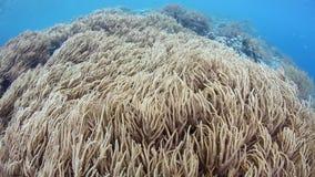 Aktuellt flöda över mjuka koraller i Raja Ampat stock video