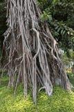 Aktuellt träd - fikuselastica Fotografering för Bildbyråer