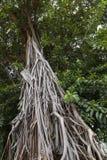Aktuellt träd - fikuselastica Arkivfoto