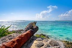 Akumal beach rusted canon in Riviera Maya. Akumal beach iguana on rusted canon in Riviera Maya of Mayan Mexico royalty free stock photography