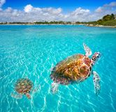 Akumal beach turtles photomount Riviera Maya. Akumal beach turtles photomount in Riviera Maya of Mayan Mexico royalty free stock photo