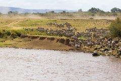 Akumulacja zebry na brzeg przed krzyżować inny brzeg Kenja, Afryka Fotografia Royalty Free