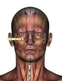 Akupunkturpunkt ST02 Sibai Arkivfoton