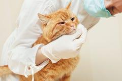 Akut omsorg i den veterinär- kliniken Sjuk röd katt royaltyfri foto