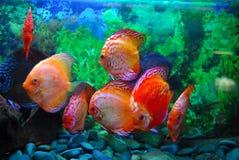 akvariefisk royaltyfri fotografi