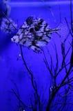 akvariefisk Fotografering för Bildbyråer