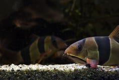 Akvariefisk Botia Royaltyfri Fotografi