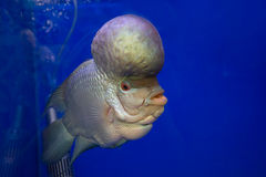 Akvariefisk horn- fisk för blomma på den blåa skärmen Royaltyfri Bild