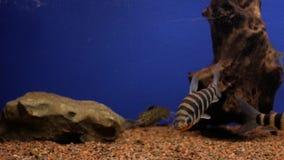 Akvariefisk i akvariet arkivfilmer
